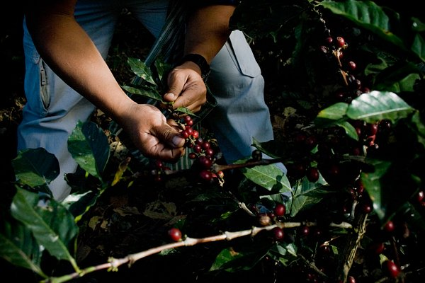 Coffee farming community